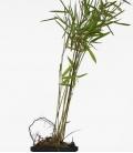 Bambou non traçant Fargesia nitida Black Pearl c1L hauteur 30-40 cm