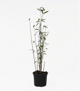 Non-marking bamboo Fargesia Demissa Gerry c2l height 40-60cm