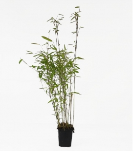 Bamboo non-tracing Fargesia nitida Volcano c1l height 30-40cm