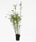 Bambou non-traçant Fargesia nitida Volcano c1l hauteur 30-40cm