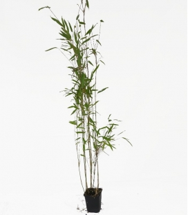 "Bamboo non-tracing Fargesia nitida ""Obelisk"" ® c1l height 80-100cm"