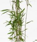 "Bambou non traçant Fargesia nitida ""Obelisk"" ® c1l hauteur 80-100cm"