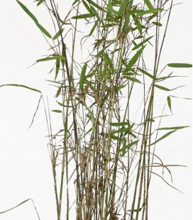 non-marking bamboo Fargesia Nitida Nymphenburg c3l height 50-60cm