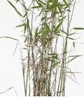 bambou non traçant Fargesia Nitida Nymphenburg c3l hauteur 50-60cm