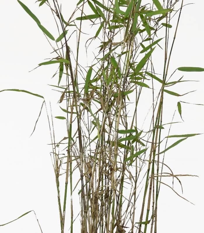 bambou fargesia nitida nymphenburg nouvelle g n ration. Black Bedroom Furniture Sets. Home Design Ideas