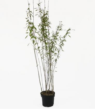 Bambou Fargesia nitida Volcano c3l hauteur 80-100cm