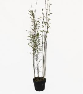 Bambou non-traçant Fargesia nitida Black Pearl c3l hauteur 60-100cm