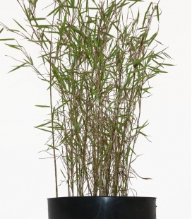 Bamboo non-tracing Fargesia nitida Tender c5l height 40 / 60cm