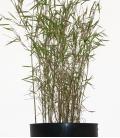 Bambou non-traçant Fargesia nitida Tender c5l hauteur 40/60cm