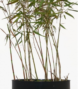 Non-marking bamboo Fargesia scabrida Asian Wonder c3l height 40-60cm