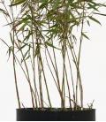 Bambou non traçant Fargesia scabrida Asian Wonder c3l hauteur 40-60cm