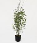 bambou non traçant Fargesia Winter Joy c5l hauteur 80-100cm