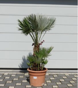 Chamaerops humilis Vulcano pot 25lts total height 120cm