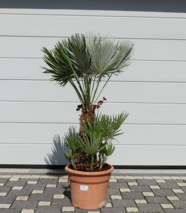 Chamaerops humilis Vulcano pot 25lts hauteur totale 120cm