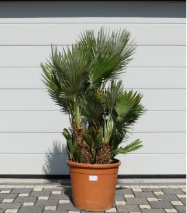 Chamaerops humilis Vulcano pot 45lts total height 160cm