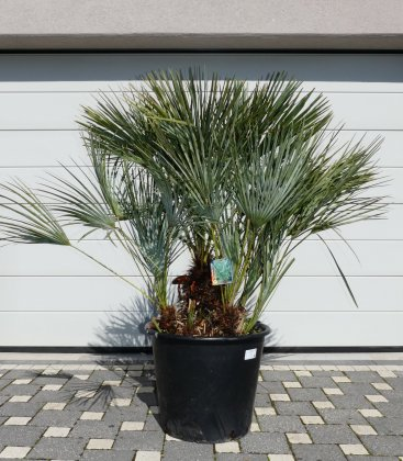 Chamaerops humilis cerifera blue pot 70l total height 160cm