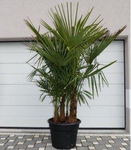 Trachycarpus Fortunei multi-tronc extra
