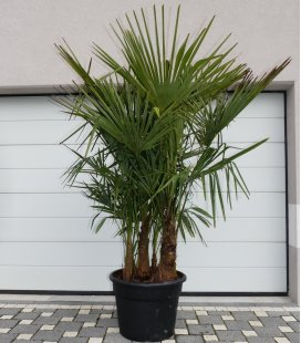 Trachycarpus Fortunei multi-trunk extra height total 200-220cm