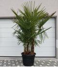Trachycarpus Fortunei multi-trunk extra height total 200-220cm