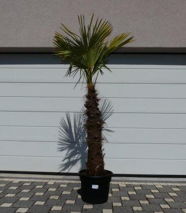 Trachycarpus Fortunei stipe squat palm tree hemp trunk 80-100cm