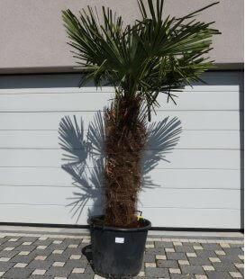Trachycarpus Fortunei stipe trapus palmier chanvre tronc 120cm