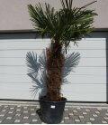 Trachycarpus Fortunei stipe squat palm tree hemp trunk 120cm