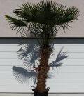 Trachycarpus Fortunei stipe trapus palmier chanvre tronc 140cm