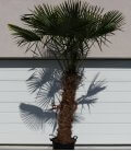 Trachycarpus Fortunei stipe squat palm tree hemp trunk 140cm