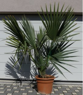 rustic palm Sabal Minor or sabal Nain pot 45 liters height 180-200cm