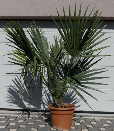 palmier rustique Sabal Minor ou sabal Nain pot 45 litres hauteur 180-200cm
