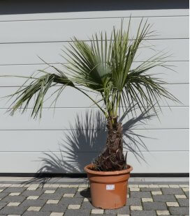 Brahea Armata Mediterranean blue palm height stipe 30-40cm