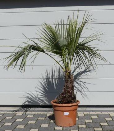 Brahea Armata blue palm