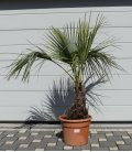 Brahea Armata palmier bleu de méditerranée hauteur stipe 30-40cm