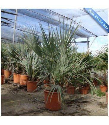 Nannorrhops Ritchieana ou palmier afghan palmier rustique