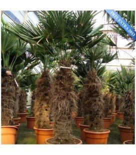 Palm tree Trachycarpus Wagnerianus stipe 80-100cm