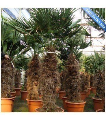 Palmier Trachycarpus Wagnerianus stipe 80-100cm