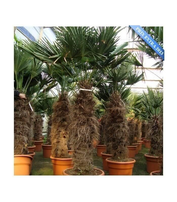 trachycarpus wagnerianus palmier de chine wagner. Black Bedroom Furniture Sets. Home Design Ideas