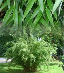 Bamboo non-tracing Fargesia Denudata generous foliage similar to fargesia murielae