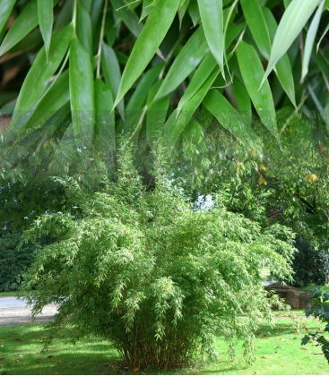 Bambou non-traçant Fargesia Denudata feuillage généreux similaire à fargesia murielae