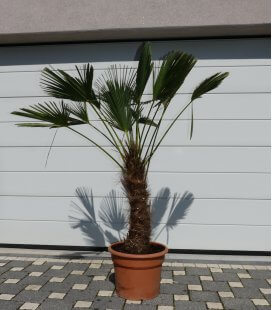 Trachycarpus Wagnerianus, Chusan palm tree, palm tree, palm tree hemp trunk 50-60cm