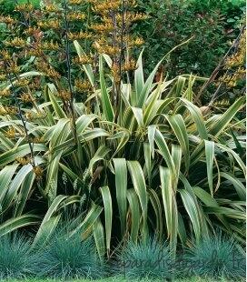Phormium Tenax Variegata - Flax New Zealand Flax