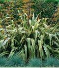 Phormium Tenax Variegata - Lin de Nouvelle Zélande Panaché