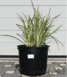 Phormium Tenax Variegata - Lin de Nouvelle Zélande Panaché c 25 litres