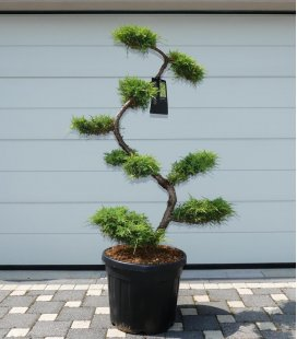 Juniperus Pfitzeriana Old Gold