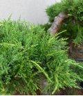 Juniperus Pfitzeriana Aurea arbre nuage c45lts hauteur hors pot 100-125cm bonsai pas cher