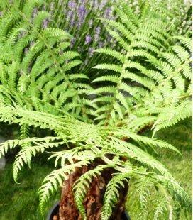Dicksonia antartica fougère arborescente de Tasmanie tronc 30-40cm