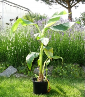 Musa Basjoo - banana from Japan - rustic banana -15 ° C pot c2 liter