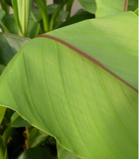 Musa Basjoo - bananier du japon - bananier rustique -15°C pot c2 litre