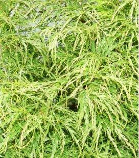 Acer Palmatum Dissectum ' Vert ' - erable du japon penné hauteur 80-100cm pot 35 litres