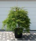 Acer Dissectum ' Vert '